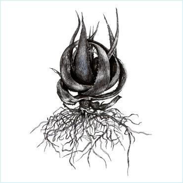 Aloe Roots